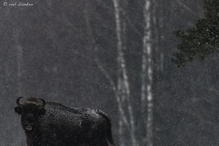 European Bison (4)