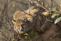 Bobcat   Lynx roux (shimmeringenergy) Tags: bobcat lynxroux lynxrufus britishcolumbia canoneos7dmarkii ef100400f4556lisiiusm coastalbritishcolumbia