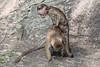 J3. Polonnaruwa - Macaque à toque (Darth Jipsu) Tags: grass unesco wild toquemacaque tree ceylon cholas ceylan forest srilanka wildlife ape toque animal nissankamallapura northcentralprovince lk