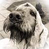 18/2 Mutta Theresa (garyjones1959) Tags: whiskers veil canine dog vizsla wirehaired hungarian hungarianwirehairedvizsla white black bw monochrome x iphonex iphone 492018 3652017 365