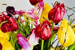 Spring colors.... (rienschrier) Tags: tulps nature kleuren colors flowers tulpen