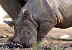 Black Rhino Karuna Blijdorp BB2A9199 (j.a.kok) Tags: rhino rhinoceros zwarteneushoorn neushoorn blackrhinoceros blackrhino africa afrika animal blijdorp herbivore babyneushoorn baviaan babyrhino mara mammal zoogdier dier