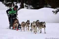 SledDog 13 (thomas.amicabile) Tags: sleddog dog slitta neve gara race animali animale gaver bagolino corsa natura allaperto winter snow italia italy inverno