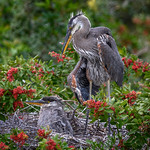 Six-week-old Great blue heron chicks at Venice Audubon Rookery, Venice, Florida thumbnail