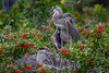 Six-week-old Great blue heron chicks at Venice Audubon Rookery, Venice, Florida (diana_robinson) Tags: greatblueheron chicks herons veniceaudubonrookery venice florida sixweekold