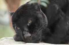jaguar Mowgli Artis BB2A8373 (j.a.kok) Tags: jaguar pantheraonca zuidamerika southamerica kat cat animal artis predator mammal zoogdier dier mowgli