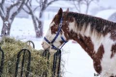 180103-45 Le bariolé (clamato39) Tags: horse cheval animal outside provincedequébec québec canada hiver winter snow neige