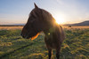 Icelandic Horse Profile (Mike Ver Sprill - Milky Way Mike) Tags: icelandic horse profile view sunset sun burst sunstar star brown beautiful iceland travel field outdoors nature animal