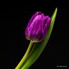 Purple tulip (Magda Banach) Tags: canon blackbackground colors flora flower green macro nature purpletulip tulip