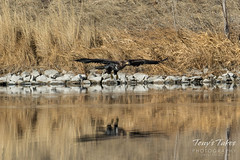 Juvenile Bald Eagle fishing attempt sequence - 2 of 8