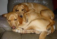 Exhausted Girls..x (Lisa@Lethen) Tags: dogs cuddles sleep pet labrador