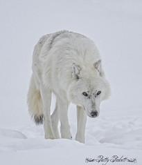 AKELA (Pattys-photos) Tags: grizzlyandwolfdiscoverycenter westyellowstone pattypickett4748gmailcom pattypickett
