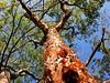Peeling Off (Helenɑ) Tags: peeling bark gumbolimbo burserasimaruba tree turpentinetree outdoor