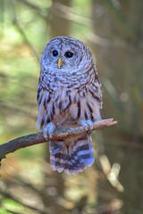 Barred Owl (Golden_Arrow) Tags: barred owl