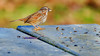 Bird on Picnic Table (Sworldguy) Tags: bird sparrow yellow brown picnictable park winter seeds sunflower bokeh