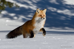 Winter in Ontario (Earl Reinink) Tags: animal wild winter snow fox redfox earl reinink earlreinink outside cold fur nikon rhidauadoa