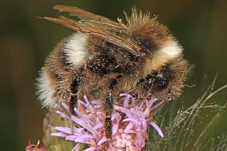 Cryptic Bumble Bee - Bombus cryptarum, Scott Lake Hill, Alberta