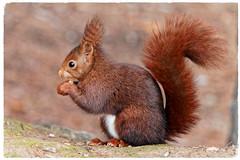 Esquirol vermell - Ardilla roja - Red squirrel - Sciurus vulgaris (aurearamon) Tags: redsquirrel sciurusvulgaris ardillaroja esquirolvermell animal olympus em5 micro43 leica100400f463