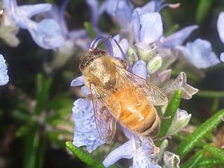 European Honey bee P1033682