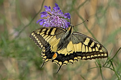 Papilio machaon - the Swallowtail (BugsAlive) Tags: butterfly butterflies mariposa papillon farfalla schmetterling бабочка animal outdoor insects insect lepidoptera macro nature papilionidae papiliomachaon swallowtail papilioninae wildlife lozère montlozère parcnationaldescévennes liveinsects france bugsalive