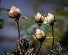 2018-01-23 Four Forlorn Roses (Mary Wardell) Tags: roses timing yellow winter outofseason flowers canon 80d portland oregon