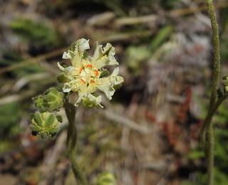 Loasa artemisiifolia