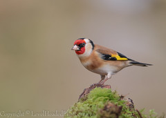 Goldfinch - (Carduelis carduelis)  'L' for large (hunt.keith27) Tags: cardueliscarduelis goldfinch woodland moss bird wing feather beak devon canon colourful highly coloured finch with bright red face yellow patch sociable thistles teasels