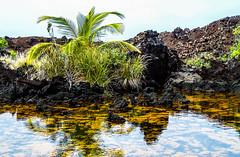 Hawaii-LonePalm-38.jpg (Chris Finch Photography) Tags: shoreline sunset kohala volcano chrisfinchphotography blacksandbeach ʻanaehoʻomalubay goldcoast landcapes landscape waikoloa sunsets pacificocean abay hawaiianphotography hawaii kohalacoast kiholobay landscapephotographs hawaiiphotography keawaikibay landscapephotographer beach ocean utahphotographer wwwchrisfinchphotographycom chrisfinch volcanoes shore lonepalm lone landscapephotography coast pacific bigisland
