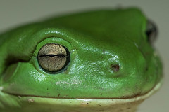 Eyeball (Joep Buijs Photography) Tags: australia green tree frog wildlife queensland eye details dof detail anatomy australian