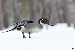 ''The star!'' Canard pilet- Anas acuta (pascaleforest) Tags: oiseau bird animal canard duck passion nikon nature winter hiver snow neige wild wildlife faune canada québec star vedette