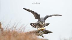 Peregrine Falcon (johnbacaring) Tags: falcon peregrine peregrinefalcon birdsofprey raptor nature wildlife birds birding