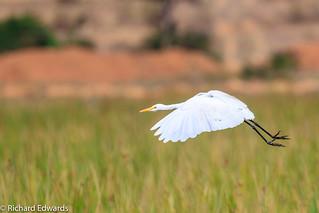 Egret in Flight - *Explore