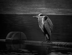 Heron (MortenTellefsen) Tags: heron hegre bird birds fugl bw blackandwhite blackandwhiteonly artinbw art bnw svarthvitt monochrome norway nature norwegian natur norsk 2018 water