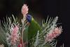Lorikeet Feeding (armct) Tags: rainbowlorikeet trichoglossushaemotodus nectar feeding grevillea flower goldcoast queensland hinterland parrot lorikeet