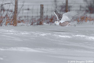 Female Snowy Owl (Bubo scandiacus)
