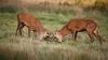 cerf-0051 (philph0t0) Tags: cervuselaphus cerfélaphe cervus elaphus cerf élaphe reddeer red deer stag rut brame animal mamal mammifère animaux