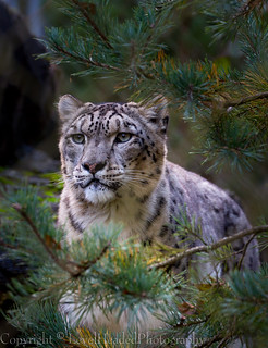 Snow Leopard - (Panthera uncia) 'L' for large