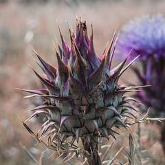 Cardos (Roberto Gamito) Tags: plant portugal botanical spike travel