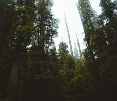 Redwoods (davidnoone2) Tags: redwoods redwood nikon nikond750 d750 forest