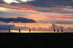 Sunset in the Masaï Mara - Kenya (lotusblancphotography) Tags: africa afrique kenya nature landscape sunset sky clouds crépuscule nuages ciel giraffes girafes animal wildlife hank you