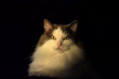 Sunshine (LupaImages) Tags: light sun sunset warm cat feline face eyes golden fur furry pet animal family indoors inside