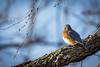BlueBird (Boomingecho) Tags: bluebird bluebirdofhappiness thrush insectivore omnivore