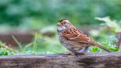 White-throated Sparrow (Bob Gunderson) Tags: birds california fortmason northerncalifornia sanfrancisco sparrows whitethroatedsparrow zonotrichiaalbicollis
