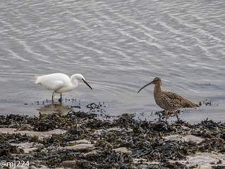 Egret and Curlew
