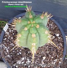 Trichocereus knuthianus (Pic #4 Apex detailed) (mattslandscape) Tags: trichocereus knuthianus echinopsis kakteen cactus