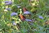 Monarch Butterflies (craigsanders429) Tags: arizona arizonasonoradesertmuseum tucsonarizona butterfly butterflies monarchbutterlies flowers plants vegetation