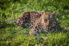 je suis végétarien (rondoudou87) Tags: panthère panther léopard leopard parcdureynou reynou zoo parc park pentax k1 nature natur wildlife wild smcpda300mmf40edifsdm sauvage bokeh végétarien vegetarian grass herbe vert green color couleur