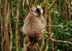 Common Brown Lemur Female (Eulemur fulvus) (Susan Roehl) Tags: madagascar2017 islandofmadagascar offtheeastcoastofafrica andasibemantadianationalpark commonbrownlemur eulemarfulvus primate animal mammal endangeredlist lemuridaefamily dietconsistsprimarilyoffruits youngleaves flowers invertebrates cicadas spiders millipedes bark sap soilandredclay varietyofforesttypes lowlandrainforests montanerainforests moistevergreenforests drydeciduousforests groupsof5to12 nodiscernibledominance activeduringday sueroehl photographictours naturalexposures panasonic lumixdmcgh4 100400mmlens handheld slightlycropped tree wood