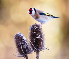 Goldfinch...taken 27/2/18 (trevorwilson1607) Tags: goldfinch bird avian teasel backgarden patience nikond810 sigma500f4 prefocused remoterelease 1200thsec f4 640iso