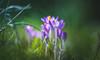 Spring Crocus, Snowdrops series - 16 (Dhina A) Tags: sony a7rii ilce7rm2 a7r2 samyang 135mm f20 f2 samyang135mmf20 bokeh bokehlicious smooth soft creamy spring crocus snowdrops